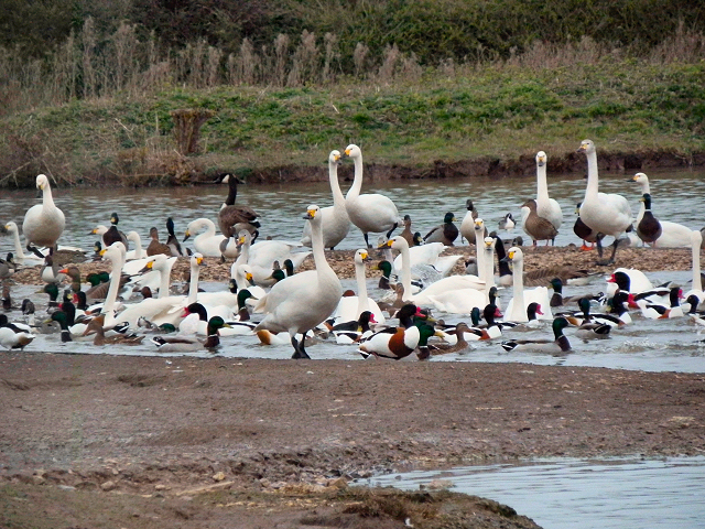 Slimbridge Wild Fowl Reserve
