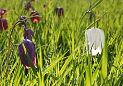 fritillaries flowering in Cricklade